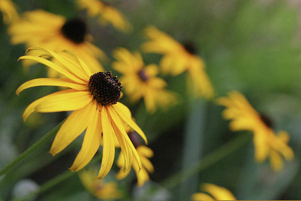Anna Photograph - Black Eyed Susan by Anna Miller