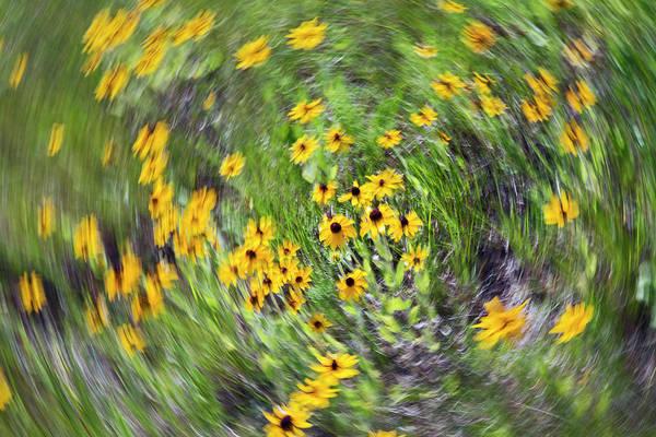 Golden Eye Photograph - Black-eyed Susan Flowers by Jim West