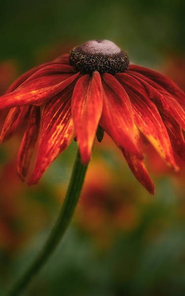 Photograph - Black-eyed Susan by Jacqui Boonstra