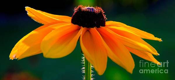 Photograph - Black Eyed Susan by Richard Lynch