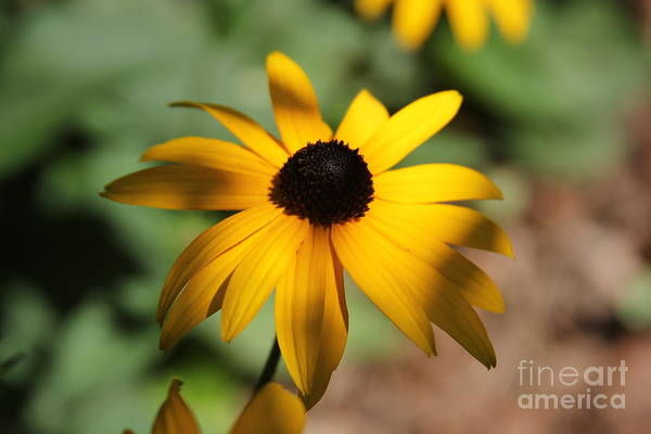 Photograph - Black Eyed Susan by Rod Best