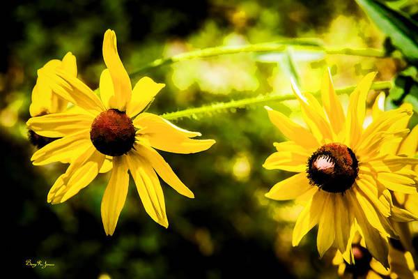 Photograph - Flower - Floral - Black Eyed Susans by Barry Jones