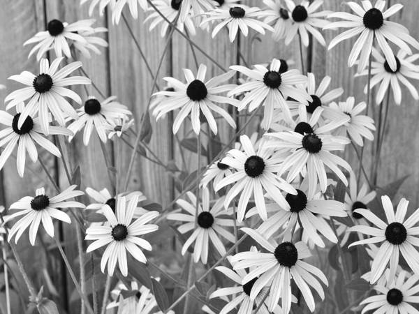 Photograph - Black-eyed Susans Growing Along A Fence. by Digital Photographic Arts
