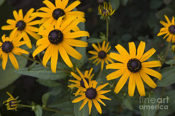 Photograph - Black-eyed Susans by Jill Lang