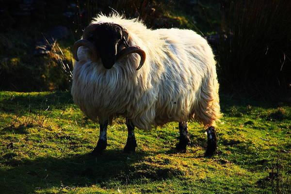 Photograph - Black Faced Mountain Sheep by Aidan Moran