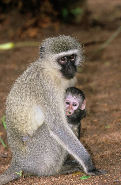 Old World Monkey Photograph - Black Faced Vervet Monkey With Young by Tony Camacho/science Photo Library