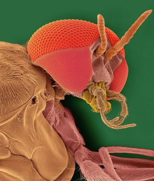 Body Piercing Photograph - Black Fly Adult Female Head by Dennis Kunkel Microscopy/science Photo Library
