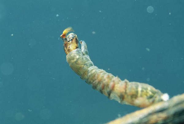 Ghana Wall Art - Photograph - Black Fly Larva Feeding by Sinclair Stammers/science Photo Library