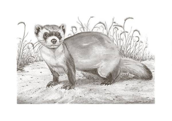 Ferrets Drawing - Black-foot Ferret by Gary Pritts