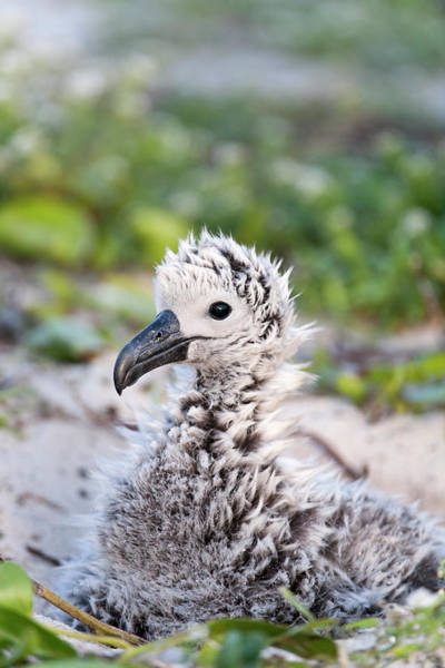 Fuzzy Photograph - Black-footed Albatross / Phoebastria by Daisy Gilardini