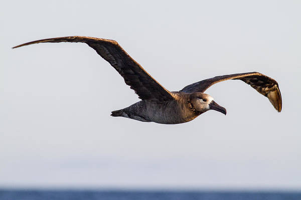 Wall Art - Photograph - Black Footed Albatross by Tim Grams