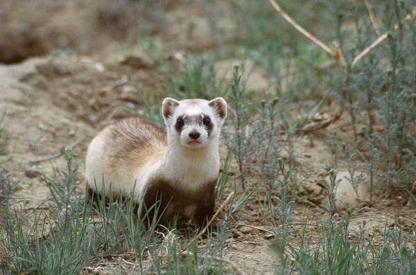 Wall Art - Photograph - Black-footed Ferret by Thomas And Pat Leeson
