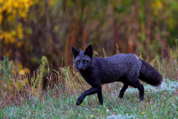 Photograph - Black Fox Hunting by Jim Garrison