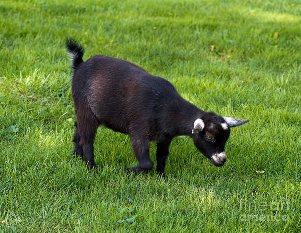 Petting Zoo Photograph - Black Goat by Terry Weaver