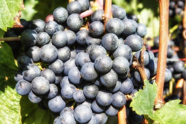 Photograph - Black Grapes by Georgia Fowler