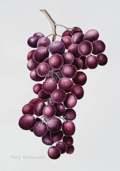Bunch Painting - Black Grapes by Sally Crosthwaite