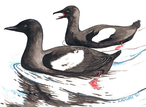 Black Guillemot Art Print