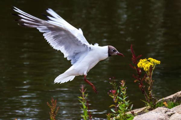 Photograph - Black Head Gull - Preparing For Landing by Scott Lyons
