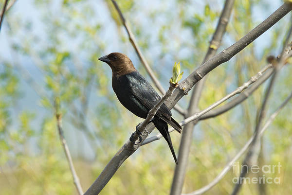 Photograph - Black-headed Crow Bird by Andrea Kollo