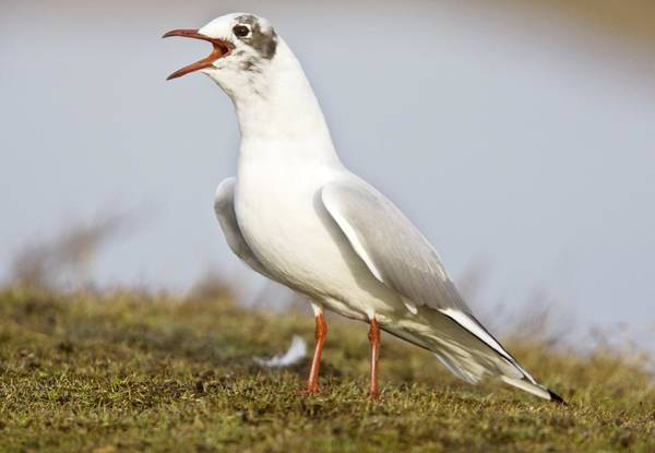 Chroicocephalus Ridibundus Photograph - Black-headed Gull Calling by Science Photo Library