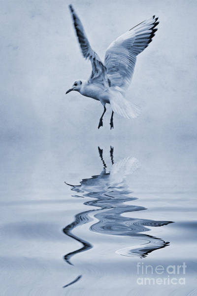 Chroicocephalus Ridibundus Photograph - Black Headed Gull Cyanotype by John Edwards