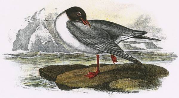 Ornithology Photograph - Black Headed Gull by English School