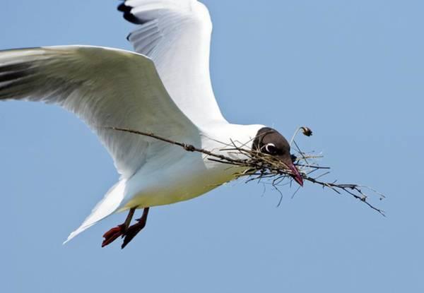 Chroicocephalus Ridibundus Photograph - Black-headed Gull In Flight by John Devries/science Photo Library
