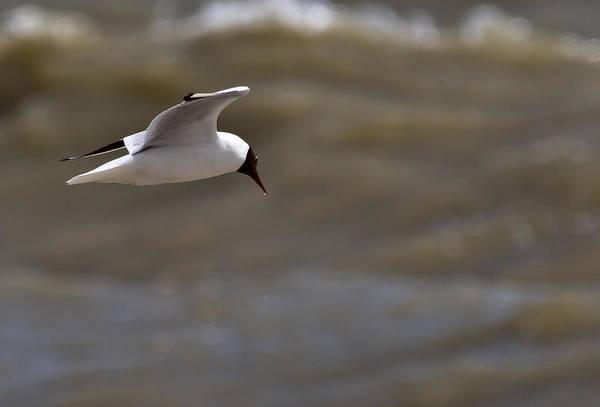 Chroicocephalus Ridibundus Photograph - Black Headed Gull In Flight Rye Harbour Kent England by Mr Bennett Kent