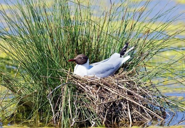 Chroicocephalus Ridibundus Photograph - Black-headed Gull Nesting by John Devries/science Photo Library