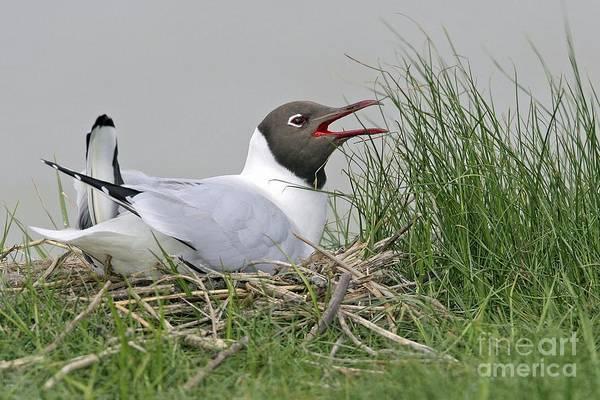 Chroicocephalus Ridibundus Photograph - Black-headed Gull On Its Nest by Bildagentur-online