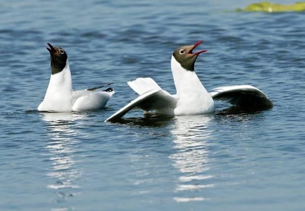 Chroicocephalus Ridibundus Photograph - Black-headed Gulls Displaying by John Devries/science Photo Library