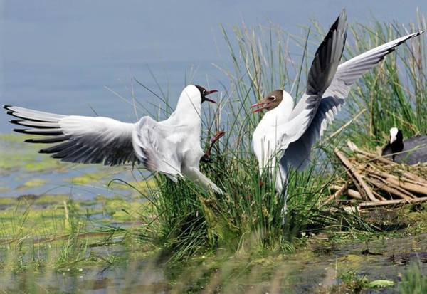 Wall Art - Photograph - Black-headed Gulls Fighting by John Devries/science Photo Library