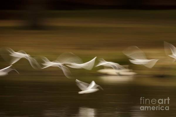 Chroicocephalus Ridibundus Photograph - Black-headed Gulls In Flight by Simon Booth