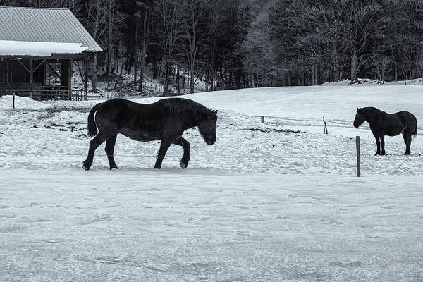 Photograph - Black Horses And Snow by Tom Singleton