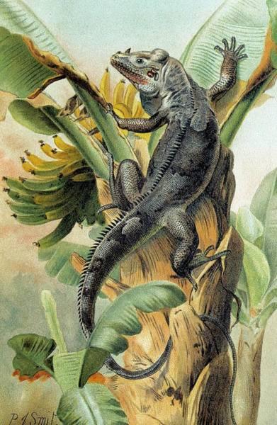 Iguana Photograph - Black Iguana by George Bernard/science Photo Library