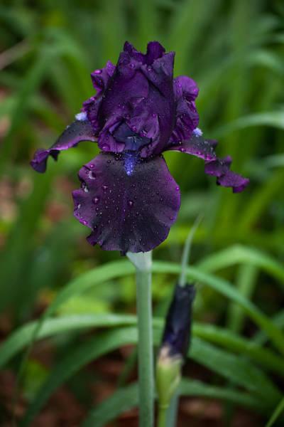 Photograph - Black Iris by Penny Lisowski