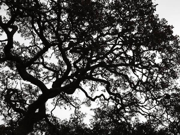 Photograph - Black Jack Oak Tree by Marilyn Hunt