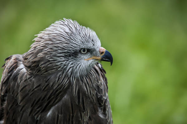 Photograph - Black Kite 2 by Arterra Picture Library