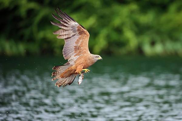 Black Kite Photograph - Black Kite Catching A Fish by Bildagentur-online/mcphoto-rolfes/science Photo Library