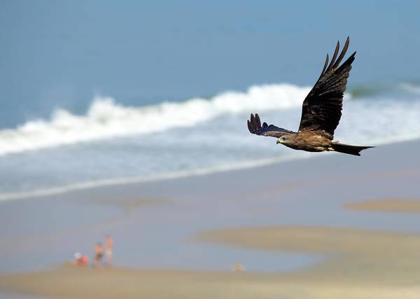 Photograph - Black Kite Over Varkala Beach by Paul Cowan