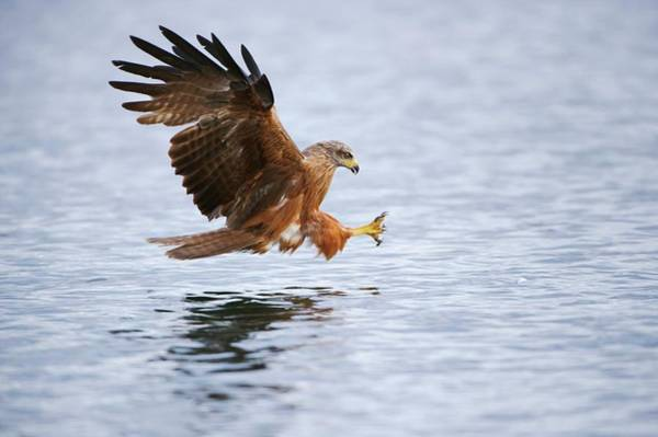 Black Kite Photograph - Black Kite Preparing To Catch A Fish by Bildagentur-online/mcphoto-rolfes/science Photo Library
