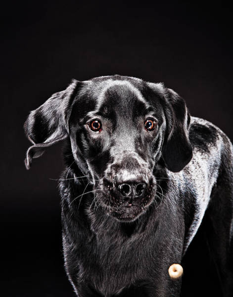 Dog Biscuit Photograph - Black Lab Dog About To Catch Food by Evan Kafka
