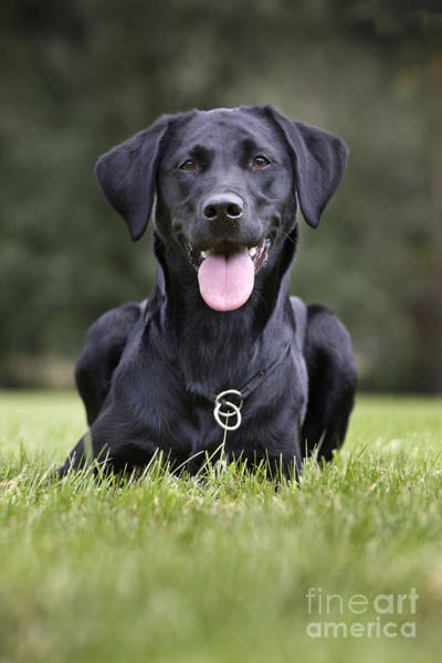 Laying Out Photograph - Black Labrador Dog by Johan De Meester
