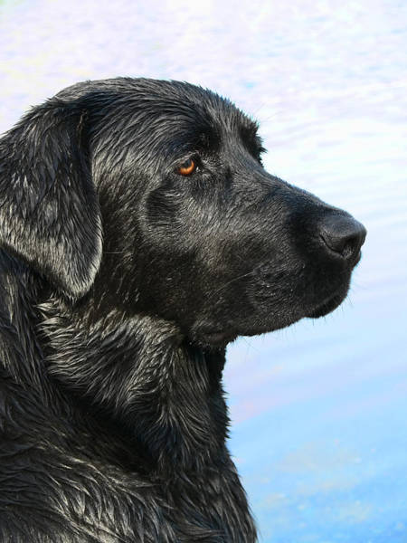 Black Lab Photograph - Black Labrador Retriever After The Swim by Jennie Marie Schell