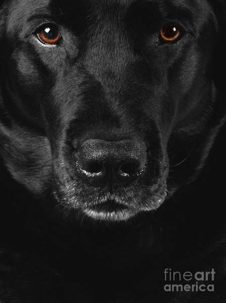 Black Lab Photograph - Black Labrador Retriever by Diane Diederich
