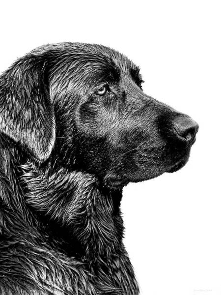 Black And White Photograph - Black Labrador Retriever Dog Monochrome by Jennie Marie Schell