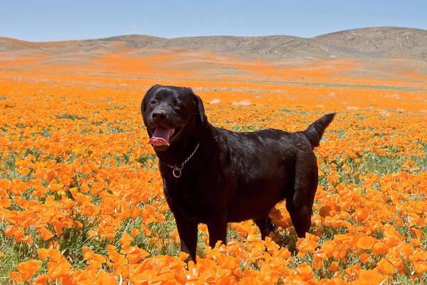 Service Dog Photograph - Black Labrador Retriever Standing by Zandria Muench Beraldo