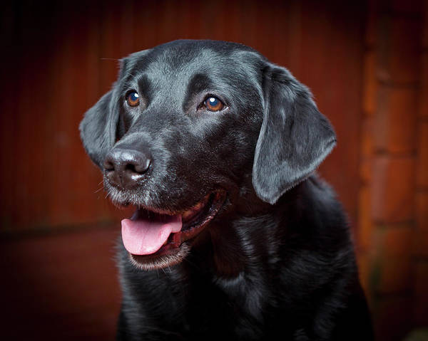 Pedigreed Photograph - Black Labrador Retriever. Young Male by Animal Images