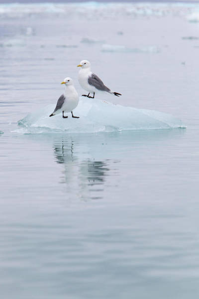 Ice Floes Wall Art - Photograph - Black-legged Kittiwakes Sitting On Ice by Anna Henly