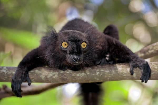 Lemur Wall Art - Photograph - Black Lemur Male by Tony Camacho/science Photo Library